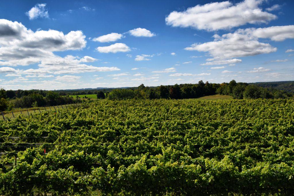 grapes Archives | Adamo Estate Winery
