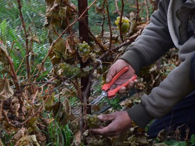 cutting vines to pick grapes