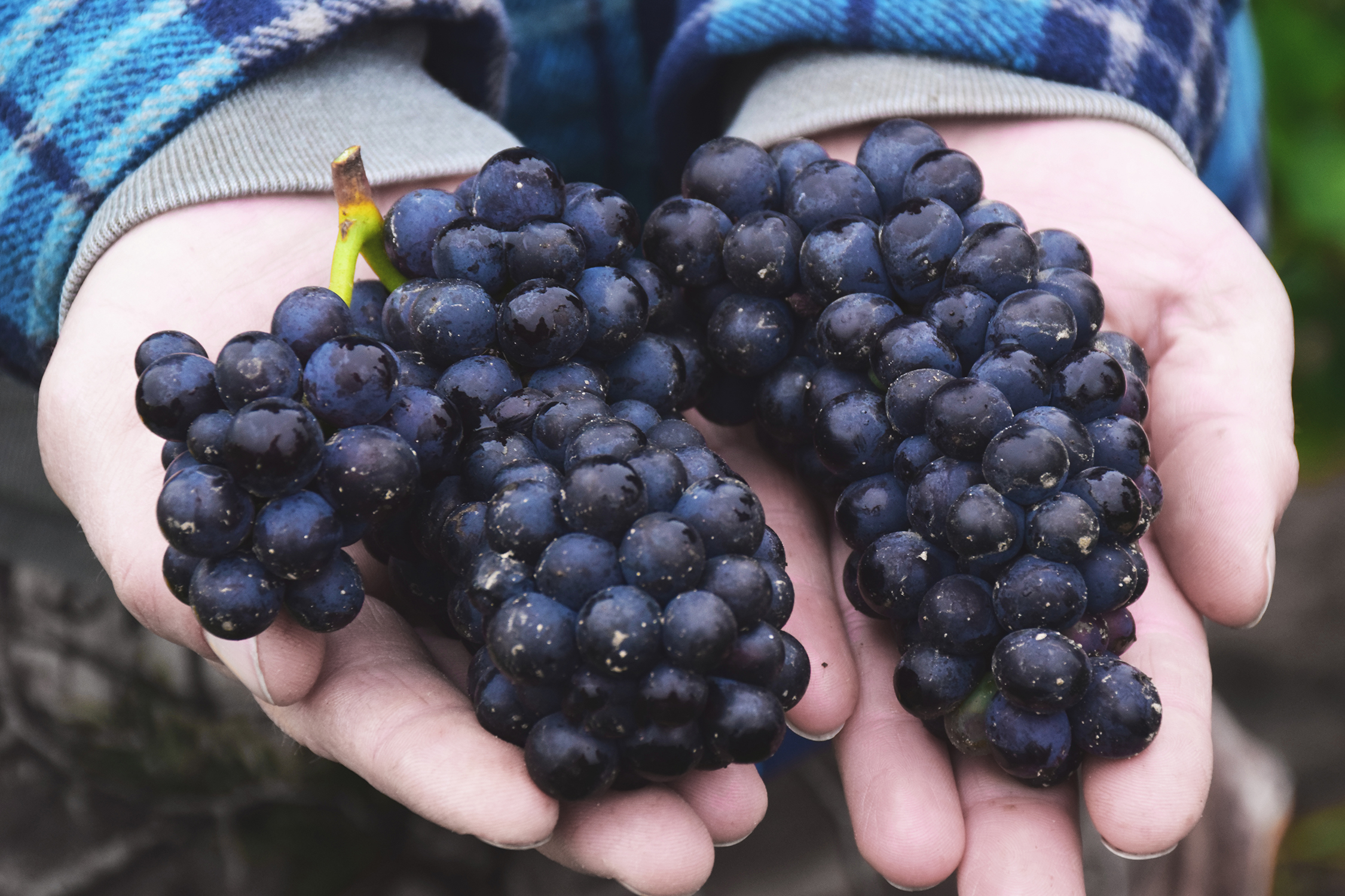 hands holding purple grapes
