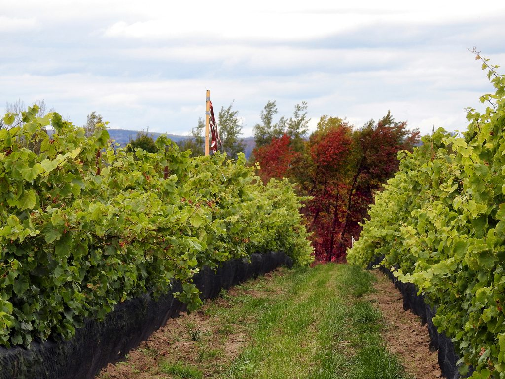 vineyard view with fall colours