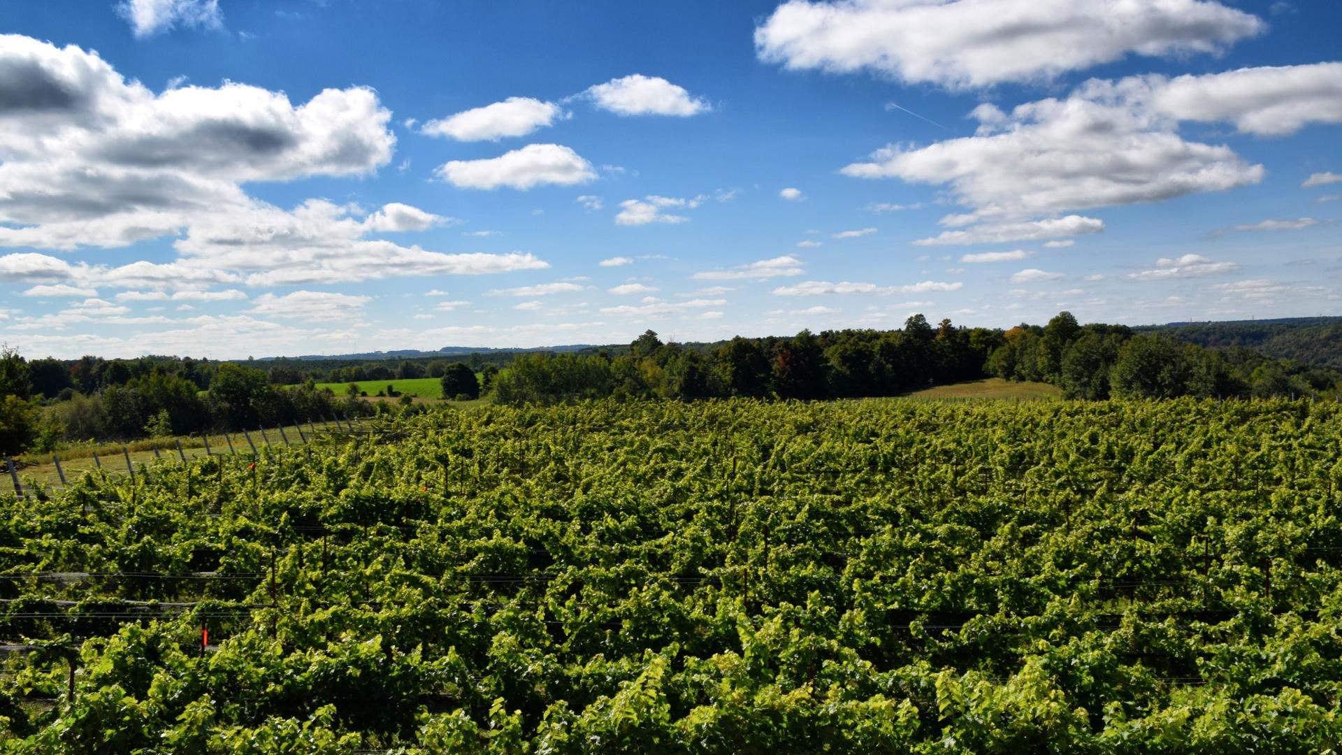 Adamo Estate Winery vineyard summer view