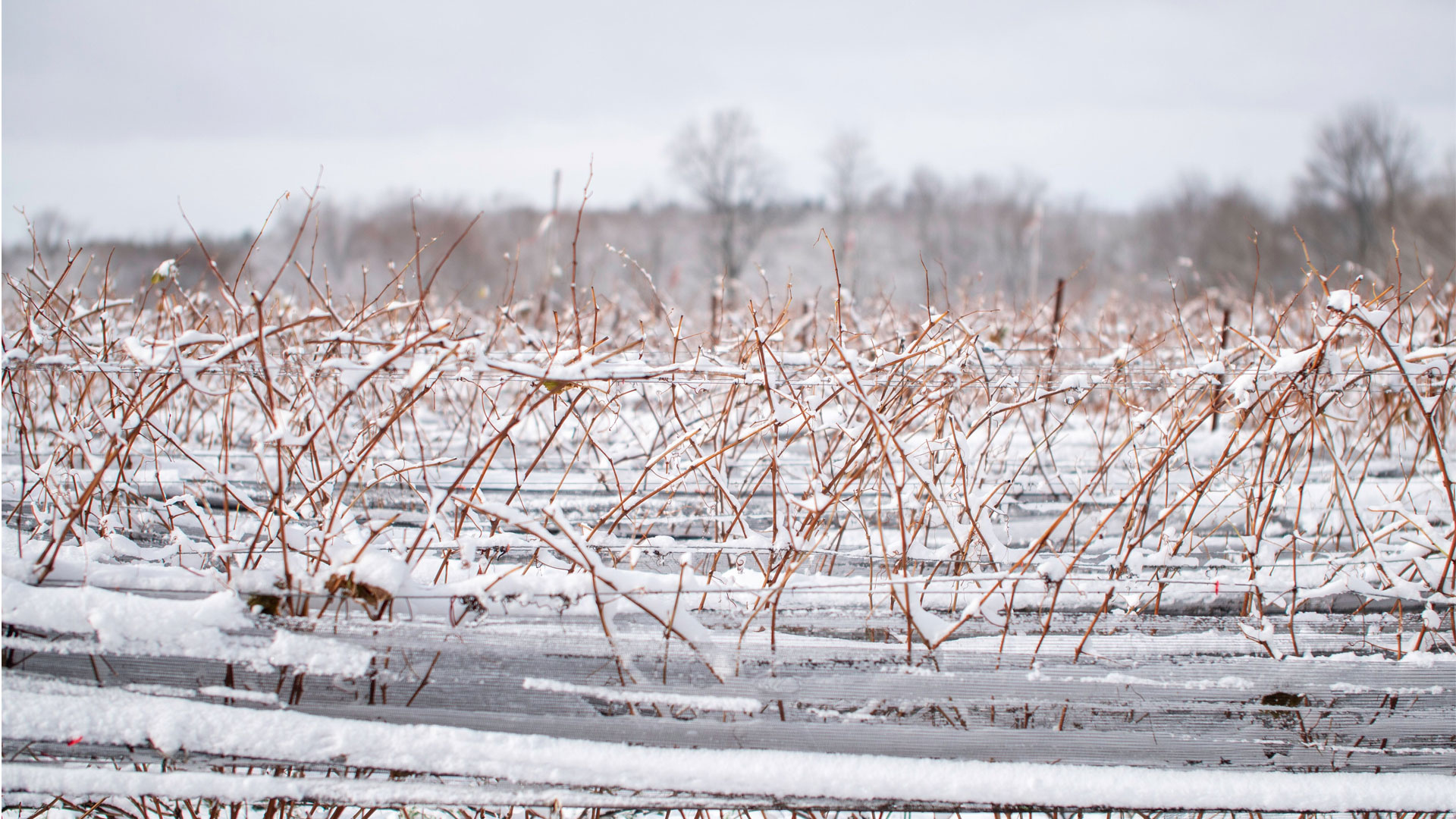 snow covered vines